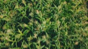 Opinión del ojo del ` s del pájaro de las plantas de maíz almacen de video