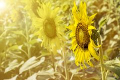 Opinión del paisaje del campo del girasol en la floración en un prado en el li Imágenes de archivo libres de regalías