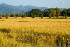Opinión del paisaje de la agricultura del campo del arroz imagenes de archivo