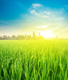 Opinión del paisaje sobre el cultivo de la plantación del campo del arroz Fotografía de archivo