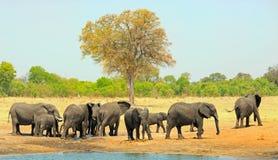 Opinión del paisaje una manada de elefantes al lado de un waterhole con un fondo amarillo seco de la sabana fotografía de archivo libre de regalías