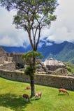 Opinión del panorama de Machu Picchu a las ruinas con las llamas Fotografía de archivo