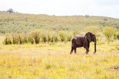 Opinión del perfil de los elefantes en la sabana del Masai Mara Pa Fotos de archivo