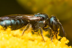 Opinión del perfil la abeja metálica verde oscuro del sudor en la flor amarilla Fotos de archivo libres de regalías
