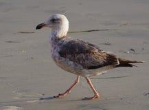Opinión del perfil del primer la gaviota occidental joven en la playa con el segundo plumaje del invierno imagen de archivo