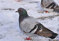 Opinión del perfil una paloma Foto de archivo