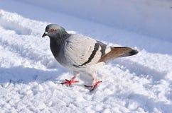 Opinión del perfil una paloma blanca Foto de archivo