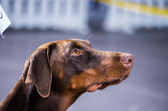 Opinión del perro Fotografía de archivo libre de regalías