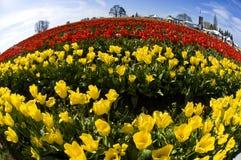 opinión del Pescado-ojo tulipanes rojos y amarillos Fotografía de archivo
