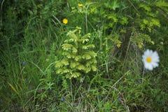 Opinión del primer del árbol de pino lindo minúsculo joven Imagen de archivo