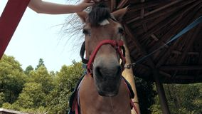 Opinión del primer del bozal de caricia de la mano femenina de un caballo Brazo del ser humano que frota ligeramente y que acaric metrajes
