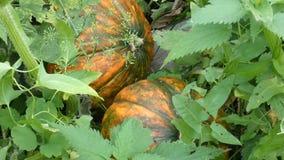 Opinión del primer de calabazas anaranjadas maduras entre las plantas verdes almacen de video