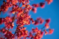 Opinión del primer de flores de cerezo en sus ramas durante primavera imagen de archivo libre de regalías