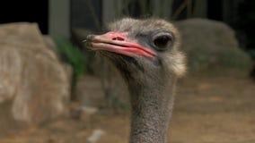 Opinión del primer de la cabeza de la avestruz en el parque zoológico, fondo blured metrajes