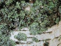 Opinión del primer de la corteza de árbol de abedul con el musgo Foto de archivo