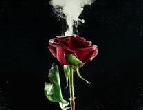 opinión del primer de la flor hermosa de la rosa del rojo y de la tinta abstracta blanca fotografía de archivo libre de regalías