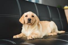 Opinión del primer de la mentira beige del perrito fotografía de archivo libre de regalías