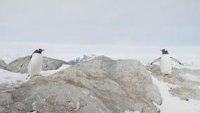 Opinión del primer de la roca de la nieve del soporte de los pares del pingüino de Gentoo almacen de video