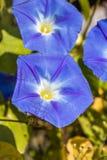 Opinión del primer de las flores azules de una correhuela fotografía de archivo