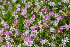 Opinión del primer de las flores del gypsophila Imagen de archivo