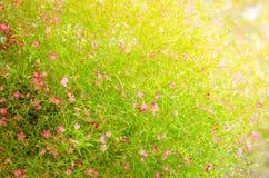 Opinión del primer de las flores del gypsophila Imágenes de archivo libres de regalías