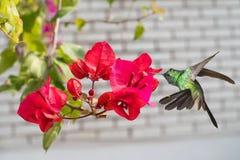 Opinión del primer de las flores de la buganvilla Imágenes de archivo libres de regalías