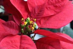 Opini?n del primer de las flores de la poinsetia imagen de archivo libre de regalías