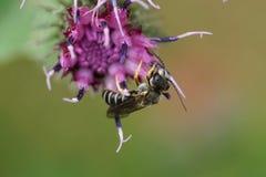 Opinión del primer de los fulvipes caucásicos de Macropis de la abeja en flowe púrpura Fotos de archivo libres de regalías