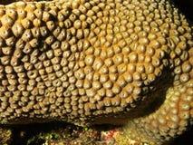 Opinión del primer de un coral maldivo fotos de archivo