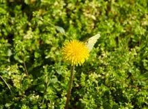 Opinión del primer de un diente de león en el medio de la hierba con una sentada de la mariposa Imagen de archivo libre de regalías