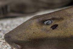 Opinión del primer de un ojo del ` s del tiburón de enfermera fotos de archivo libres de regalías