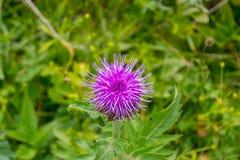 Opinión del primer de una flor rosada del tomillo con las agujas que florecieron fotos de archivo libres de regalías