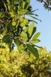 Opinión del primer de una rama con las frutas verdes redondas Imagenes de archivo