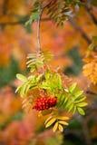 Opinión del primer del árbol de serbal en colores hermosos del otoño Fotos de archivo