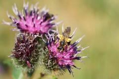 Opinión del primer desde arriba de los fulvipes salvajes caucásicos de Macropis de la abeja Fotos de archivo
