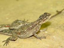 Hembra del lagarto común del Agama Fotografía de archivo libre de regalías