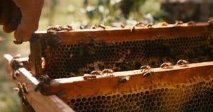Opinión del primer el apicultor desconocido que toma al honecomb en el marco de madera con las abejas hacia fuera la colmena Tiro almacen de video