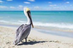 Opinión del primer el pelícano en una playa del océano en Cuba con agua y el cielo hermosos Fondo borroso, bokeh, espacio libre imágenes de archivo libres de regalías