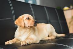 Opinión del primer el perrito de Labrador imagen de archivo