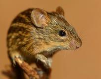 Retrato del ratón rayado de la hierba Foto de archivo libre de regalías