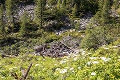 Opinión del primer en un bosque en el valle de Gressoney cerca de Monte Rosa foto de archivo libre de regalías