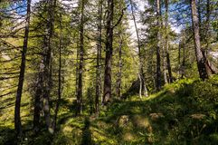 Opinión del primer en un bosque en el valle de Gressoney cerca de Monte Rosa imagen de archivo libre de regalías