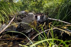 Opinión del primer en un bosque en el valle de Gressoney cerca de Monte Rosa imagenes de archivo