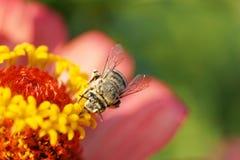 Opinión del primer del frente de la abeja gris mullida caucásica Amegilla a Fotos de archivo