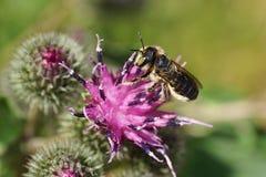 Opinión del primer la abeja caucásica por el rotundat del Megachile de los himenópteros Imagen de archivo libre de regalías