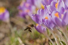 Opinión del primer la abeja que llega a la flor del azafrán Fotos de archivo
