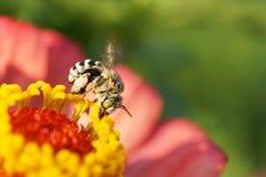Opinión del primer la abeja rayada y gris mullida caucásica Amegilla Fotos de archivo libres de regalías
