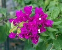 Opinión del primer la buganvilla púrpura de la reina Fotografía de archivo
