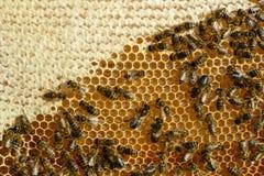 Opinión del primer las abejas de trabajo en el panal Panal con el fondo de las abejas Imágenes de archivo libres de regalías