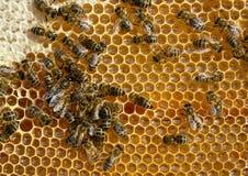Opinión del primer las abejas de trabajo en el panal Panal con el fondo de las abejas Fotografía de archivo